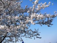 Sakura2011_032