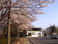 Sakura2011_137