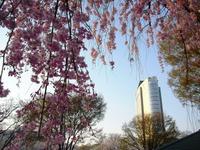 Sakura2011_148
